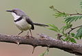 Bar-throated Apalis, Apalis thoracica, at Marakele National Park, Limpopo, South Africa (16404043065).jpg