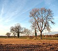 Bare trees on a field boundary - geograph.org.uk - 1110964.jpg
