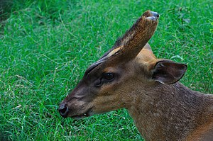 Muntjac - Head of a common muntjac