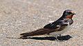 Barn swallow, Hirundo rustica, at Rietvlei Nature Reserve, Gauteng, South Africa (31299228041).jpg