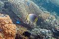 Baroness butterflyfish Chaetodon baronessa (5816498107).jpg