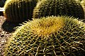 Barrel Cactus in Desert Botanical Gardens.jpg