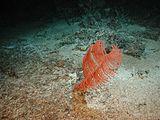 Bathypathes Coral