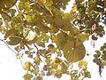 Bauhinia foveolata (8481199993).jpg