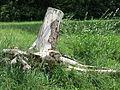 Baumstumpf an der Isar.jpg