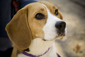 A female Beagle named Camry. This was taken at...