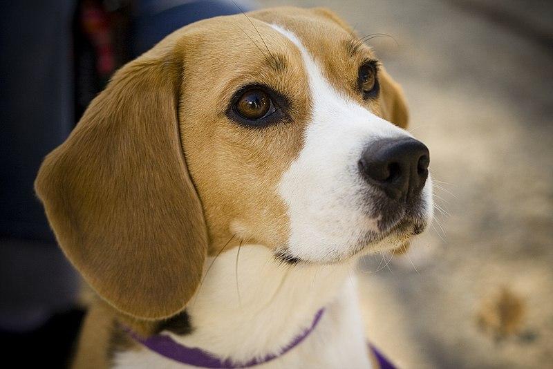 File:Beagle portrait Camry.jpg