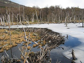 Origin of speech - A beaver dam in Tierra del Fuego. Beavers adapt to an environmental niche which they shape by their own activities.