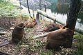 Beavers (23015551232).jpg