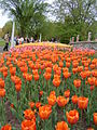 Bed of tulips at a Tulip Festival.JPG