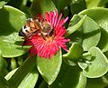 Bee on succulent.JPG