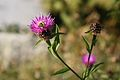 Bee on thistle 01.jpg