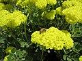 Bee on unknown flower scotts valley.JPG