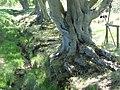 Beeches, Barns Wood - geograph.org.uk - 1326269.jpg