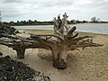 Beelbi Creek rivermouth at Toogoom, Inverted treestumps - panoramio.jpg