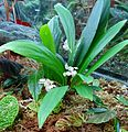Begonia herbacea 2.jpg