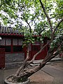 Beijing Lu Xun Museum - tree 2 planted by Lu Xun.jpg