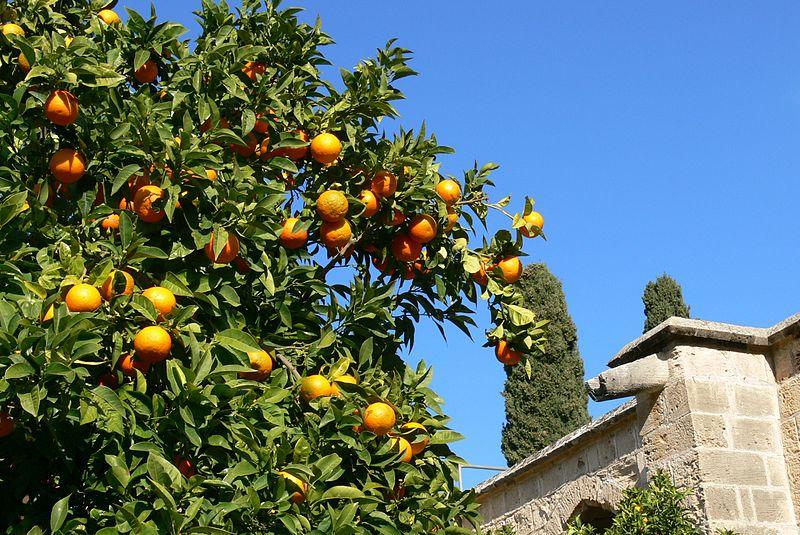 File:Bellapais - Orangenbaum 1.jpg