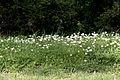 Bellis daisies in Gökçeli 01.jpg