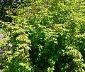 Berberis gracilis 1.jpg