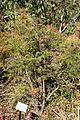 Berberis sanguinea - Quarryhill Botanical Garden - DSC03270.JPG