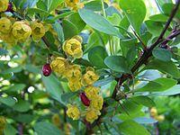 Berberis vulgaris munich