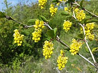 Berberis vulgaris sl5.jpg