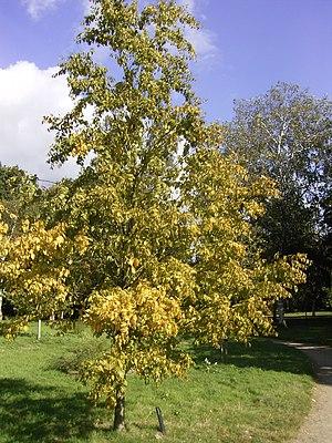Symbols of Quebec - Yellow birch