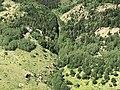 Betula pendula - Birch forest, Giresun 07.jpg