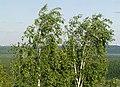 Betula pendula Devil's Settlement.jpg