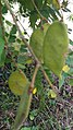Biancaea sappan fruits bunch.jpg