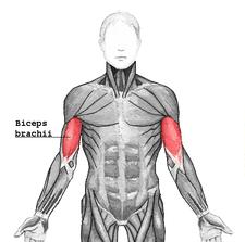 225px biceps brachii