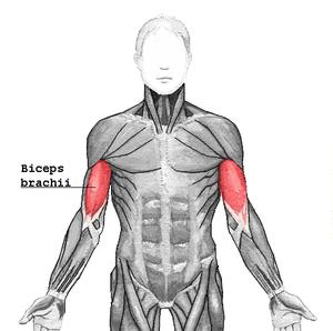 Deutsch: Der Musculus biceps brachii ist ein M...
