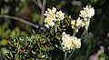 Bicolored cudweed, Gnaphalium bicolor.jpg