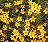 Bidens ferulifolia 05 ies