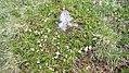 Bieltal (Tirol) Kalmia procumbens-05.jpg