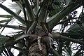 Bismarckia nobilis 11zz.jpg