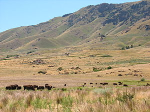 Antelope Island bison herd - Image: Bison On Antelope Island