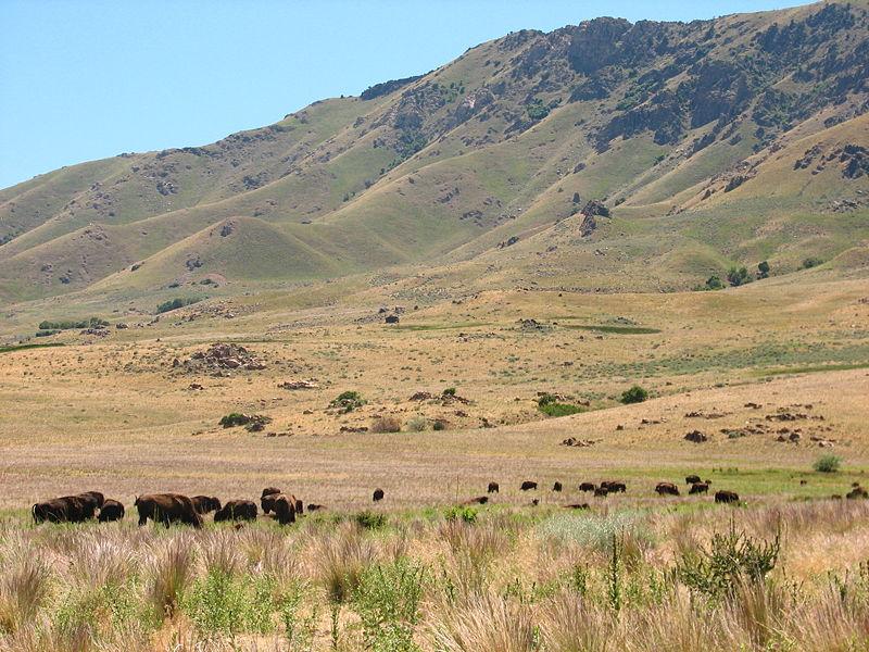Bison On Antelope Island.jpg
