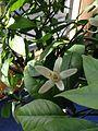 Blüte einer roten Limette 2014-02-04 14-57.jpg