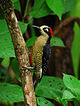 Black-cheeked Woodpecker.jpg