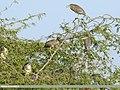 Black-crowned Night Heron (Nycticorax nycticorax) (33258498744).jpg