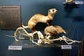 Black-footed Ferret & Prairie Dog.jpg