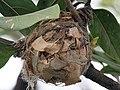 Black-hooded Oriole (Oriolus xanthornus)'s nest in Kolkata I IMG 3555.jpg