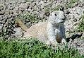 Black-tailed prairie dog (Cynomys ludovicianus ) (18941485448).jpg