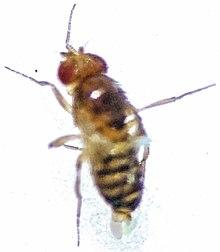 Fruit fly sperm comparison sorry