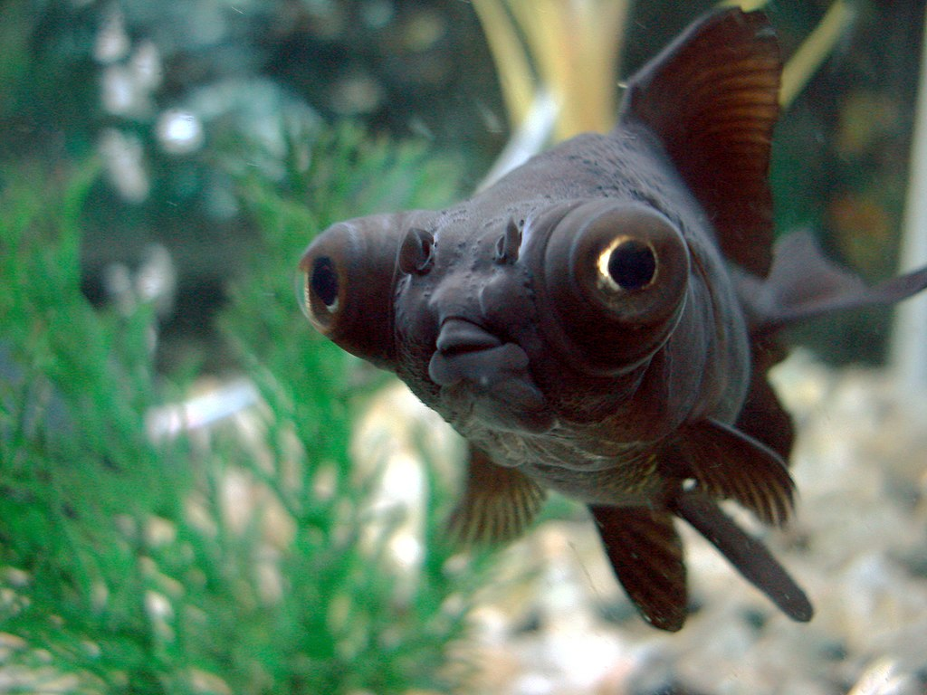 Black Moor Fish Wont Eat Food