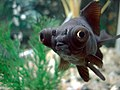 Black Moor Fish.jpg