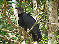 Black Vulture, Costa Rica.jpg