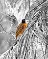 Black headed weaver bird bw (3338893964).jpg